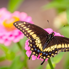 by Dale Youngkin - Animals Insects & Spiders ( close up, flowers, butterfly, bokeh, garden )