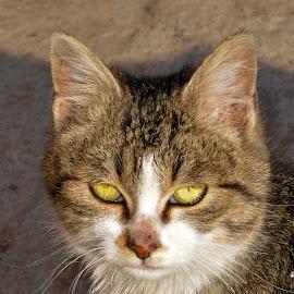 by Драган Рачићевић - Animals - Cats Portraits