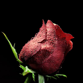 Red Rose in th Dark by Suehana SuZie - Nature Up Close Flowers - 2011-2013 (  )