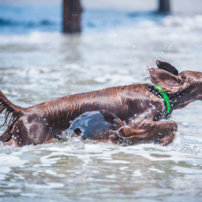 Ireland Setter by Cristobal Garciaferro Rubio - Animals - Dogs Playing ( water, wet dog, ireland setter, setter, dog )