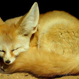 sleepy little fox by Andrew Barnes - Novices Only Wildlife ( fox, furry, whiskers, fur, ears, little, sleepy, claws, tail, animal )