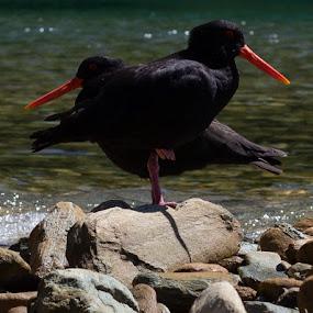 Inverse Oystercatcher by Karina Zawilinski - Animals Birds ( oystercatcher, waves, seabird, beak, black, friends, juxtaposition, orange, red, eye, standing, rocks, beach, bay,  )