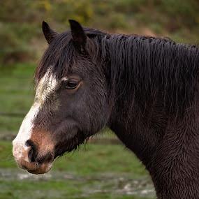 Horse Portrait by Dunstan Vavasour - Animals Horses ( field, mane, head shot, horse, portrait,  )