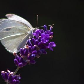 Butterfly by Bojan K - Animals Birds ( butterfly lavender,  )