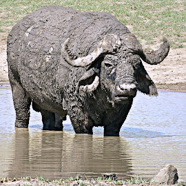 Mud Pack by Pieter J de Villiers - Animals Other ( mammals, buffalo, mud pack, old buffalo bull, animals, kruger national park, other, dagga boy, south africa )
