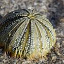 Veriegated Sea Urchin (test)