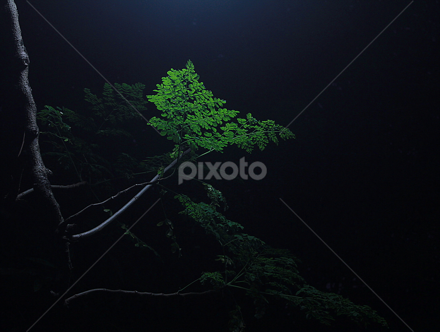 LIGHTED DARKNESS  by Zahid Rahman - Nature Up Close Trees & Bushes ( light, contrast, night, tree, leaf, branch )