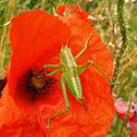 Speckled bush-cricket. Grillo de arbustos