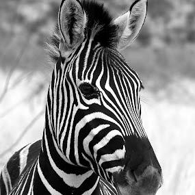 Zebralicious by Adell du Plessis - Black & White Animals ( nature, black and white, wildlife, zebra, stripes )