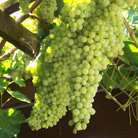 Green Grapes by Christine B. - Nature Up Close Gardens & Produce ( vineyard, grapes, california, green, trellis,  )