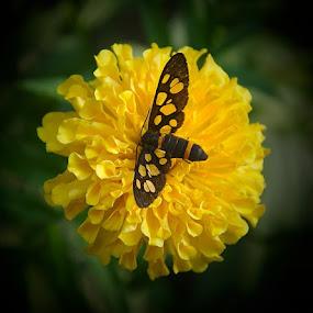 by Sambit Bandyopadhyay - Flowers Single Flower ( butterfly, garden, flower )