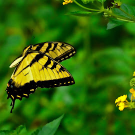 Swallowtail In Flight by Roy Walter - Animals Insects & Spiders ( wild, butterfly, yellow, insect, swallowtail )