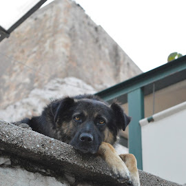 by Maria Gerolymatou - Animals - Dogs Portraits ( dog warden, dogs, athens, dog,  )