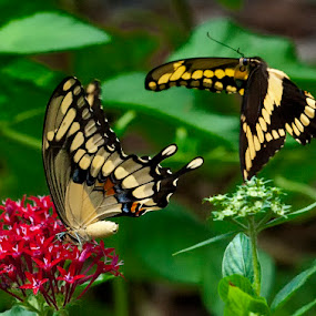 Tiger Swallowtail Butterflies by Joe Saladino - Animals Insects & Spiders ( butterfly, insect, flower, courtship, animal, , butterfy )