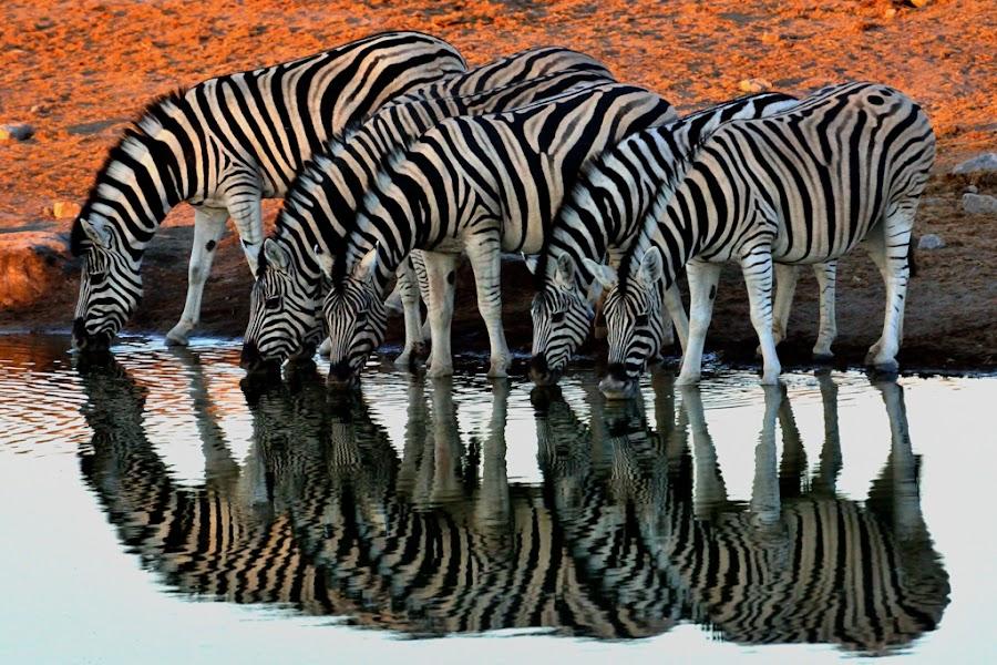 Zebra Refletion by Jan Jacobs - Animals Other ( fantastic wildlife )