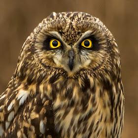 219A3620 edited,perched,head,shot,owl.jpg