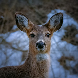 Winter closeup by Sue Delia - Animals Other ( wild, winter, doe, closeup, eyes, deer )
