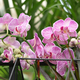 Orchids  by Lorraine D.  Heaney - Flowers Flower Buds