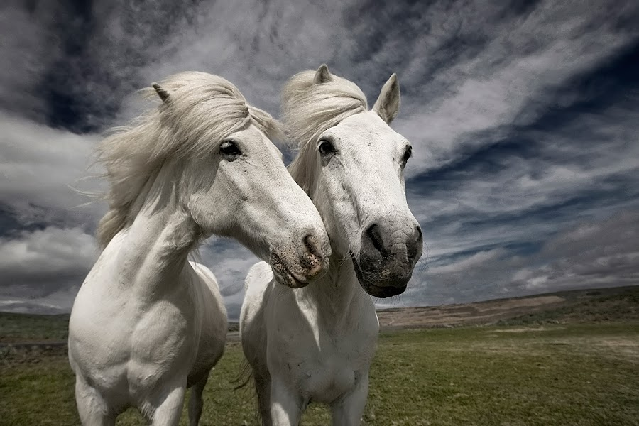 Inseparables by Bragi Ingibergsson - Animals Horses ( animals, iceland, friends, horses, brin, bragi j. ingibergsson )