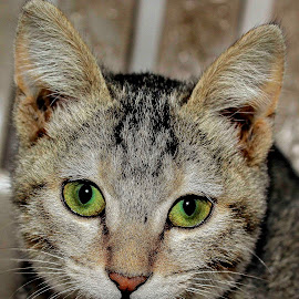 Eyes by Rajeev Dabas - Animals - Cats Portraits ( #eyes, #portrait, #animal, #cat, #kitten )