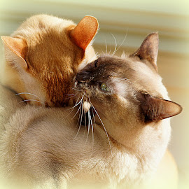 red and tortie burmese cats by Caroline Beaumont - Animals - Cats Playing ( red and tortie burmese cats )