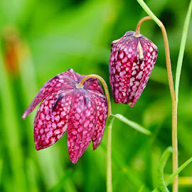 Fritilliaire pintade by Gérard CHATENET - Flowers Flowers in the Wild