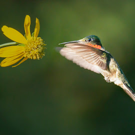 Hummingbird Flying by Sue Matsunaga - Animals Birds