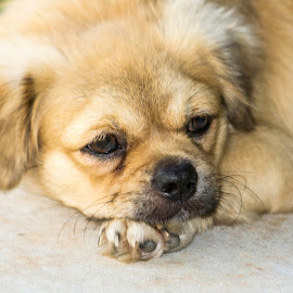 Teddy Bear by Trevor Smart - Animals - Dogs Puppies ( australia, tibetan spaniel, dog, darwin, animal )