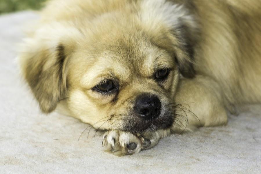 Teddy Bear by Trevor Smart - Animals - Dogs Puppies ( australia, tibetan spaniel, dog, darwin, animal,  )