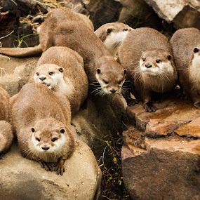 Asian Otters at the Memphis Zoo by Mary Phelps - Animals Other Mammals ( memphis, zoo, otter, otters, tennessee,  )