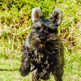 Full speed ahead by Simon Shee - Animals - Dogs Running ( running, miniature schnauzer, cape province, south africa, dog, hermanus area )