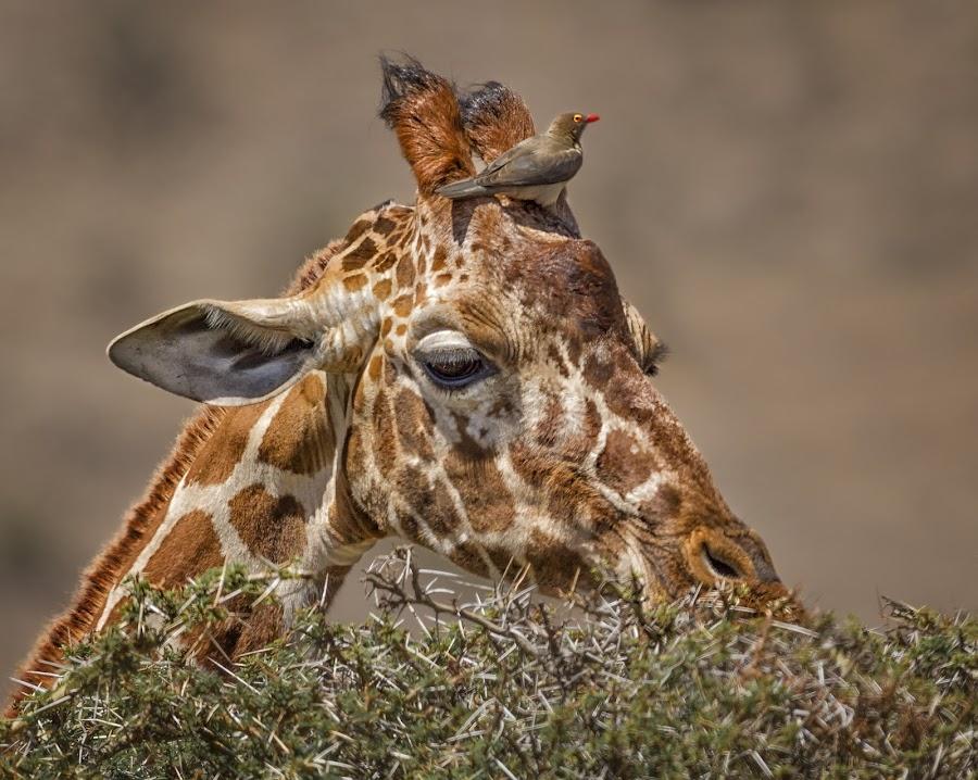 The High Life by Karen Celella - Animals Birds ( africa, safari, giraffe, bird, animals, portrait, wild, kenya, wildlife,  )