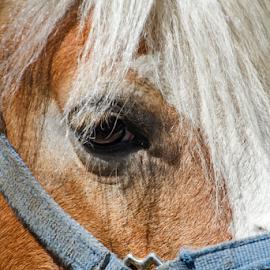 Horse Close Up by Bob Slitzan - Animals Horses ( slitzan, bobsphotography, breed, equine, bob, artwork, close, eyes, bob's, macro, staring, nature, animal head, bobsphotography.com, head, black, eye, mane, eyelashes, harness, bobs photography, rural, portrait, equestrian, mammal, head shot, outdoors, outside, eyelash, face, horse, light brown, brown hair, cute, farm, horse fur, chestnut, domesticated, riding, bob's photography, fur, hair, closeup, animal, photographic, bridle, beautiful, new york, bob slitzan, photo, close up, domestic, close-up, photos, bobs, outdoor, brown )