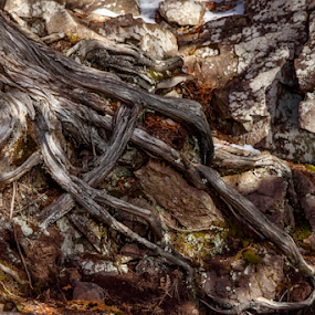 Gnarled Tree Roots by Jill Beim - Nature Up Close Trees & Bushes ( tree, roots, nature up close, gnarled, neutrals )