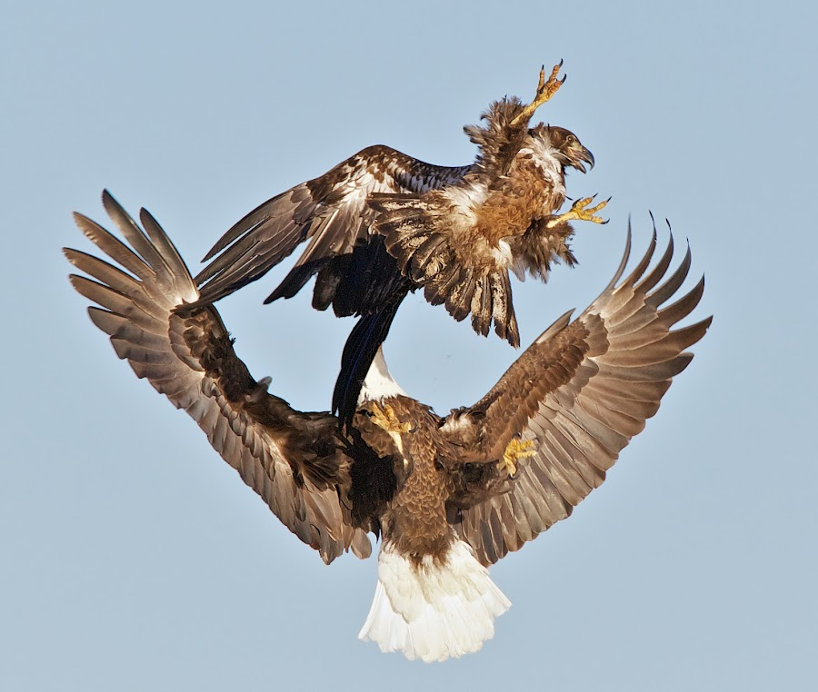 Dad Delivers a Spanking by Mark Theriot - Animals Birds ( eagle, sky, fight, action, adult, aggressive, bif )