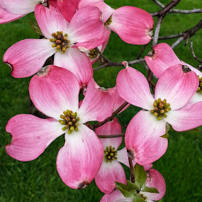 Pink Dogwood by Sandy Hogan - Flowers Tree Blossoms ( pink flower, dogwood, flowering tree, tree blossoms, pink_dogwood, pink,  )