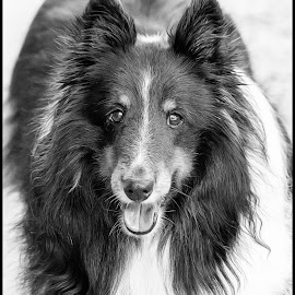 Tex by Dave Lipchen - Black & White Animals ( shetland sheepdog )