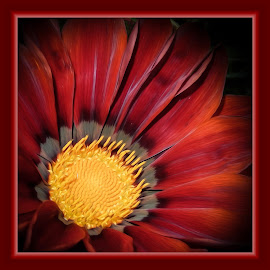 African Daisy by Dawn Hoehn Hagler - Digital Art Things ( red, pima county cooperative extension gardens, tucson, african daisy, arizona, gazania, photoshop, garden, oil paint, flower, digital art )