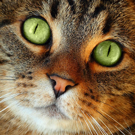 Up Close by Pam Mullins - Animals - Cats Portraits ( cat, green, close up, mammal, eyes )