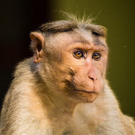 Indian Monkey by Naveen Joyous - Animals Other ( nature, wildlife, close up, monkey, animal )
