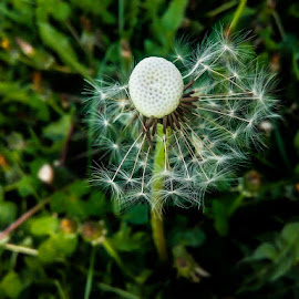 dandelion by Laura Petric - Instagram & Mobile Android ( #windyday #upclose, #dandelion   #outdoor  #naturewalk,  )