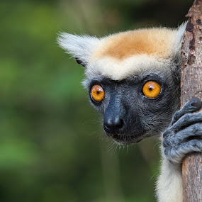 Golden-crowned Sifaka by Steve Bulford - Animals Other Mammals ( look, critically endangered, golden-crowned sifaka, steve bulford, stare, head, daraina, madagascar, eyes )