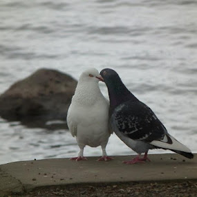 Loved up by Paul Rayney - Animals Birds ( love, pigeon, kissing )