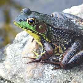 Frog by Jaliya Rasaputra - Animals Amphibians