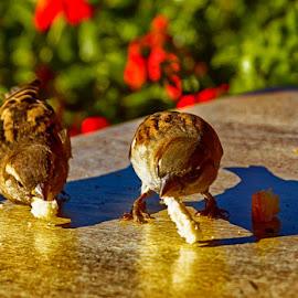 Lunch with a friend by Radu Eftimie - Animals Birds ( sparrows )