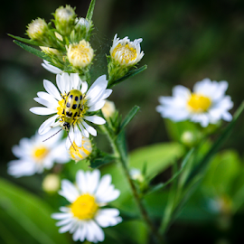 by Pam Satterfield Manning - Nature Up Close Other Natural Objects ( spotted, petals, green, white, daisy, round, leaf, insect, bokeh, macro, pattern, lomo, rule of third, nature up close, bug, flower,  )