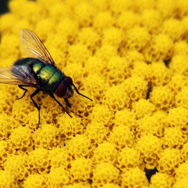 Fly on a Yellow Flower by Kathryn Fenton - Animals Insects & Spiders ( up close, macro, fly, yellow, flower )