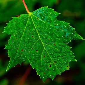 After A Summer Rain by Mitzi Sibert - Nature Up Close Leaves & Grasses ( nature, green, summer, raindrops, leaf,  )