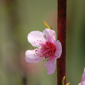 Spring Bloom by Angel Harvey - Novices Only Flowers & Plants ( pink ', spring, flower,  )