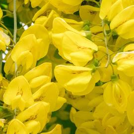 Yellow Beauties by Jennifer  Loper  - Flowers Tree Blossoms ( stems, flowers, green, leaves, tree, yellow, flowering, trellis, fence )